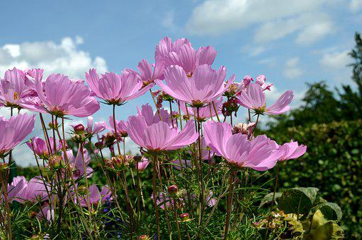 Flowers, Cosmos Bipinnatus, Cosmea, Blue Sky, Nature