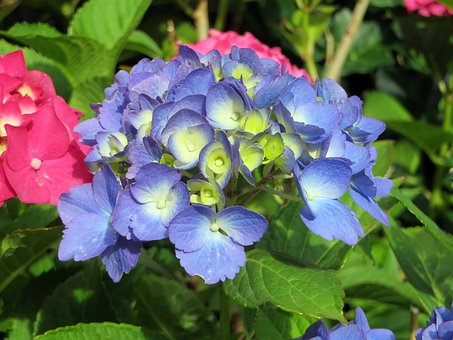 Hydrangea, Blue, Hydrangea Macrophylla, Flowering