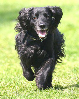 Cocker Spaniel, Working Cocker, Dog, Pet, Spaniel