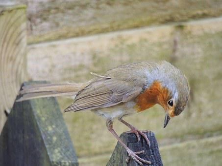 British, Uk, Bird, Robin, Red, Breast, English, England