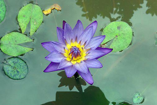 Lily, Flower, Nymphaea Tina, Tropical, Day-blooming
