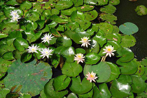 Lily, Water Lily, Peach Glow, Nymphaeaceae