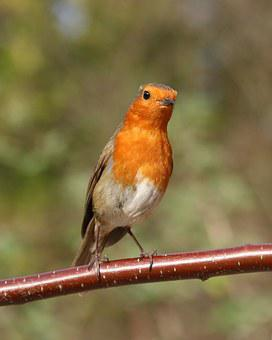 Robin, Garden Bird, Bird, Garden, Nature, Wildlife, Red
