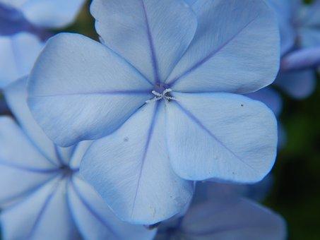 Blue Flowers, Macro, Blossom, Bloom, Close, Nature