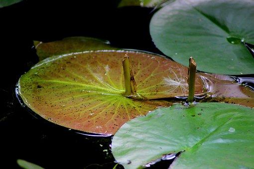 Water Lilies, Aquatic Plant, Marsh, Nature