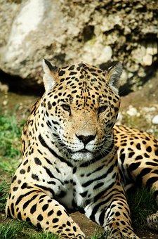 Leopard, Cat, Big Cat, Wildcat, Predator, Zoo