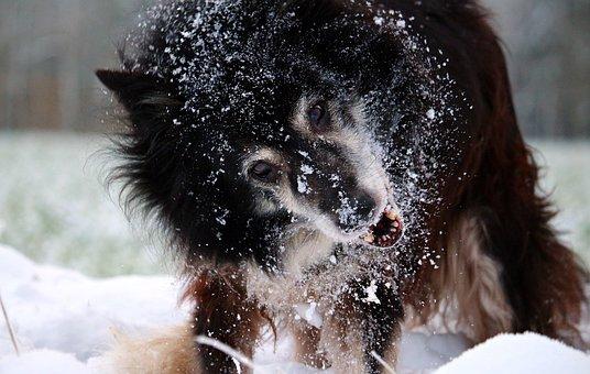 Snow, Dog, Border, Winter, Border Collie, Herding Dog