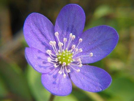 Hepatica, Anemone, Flower, Bloom, Blossom, Bloom