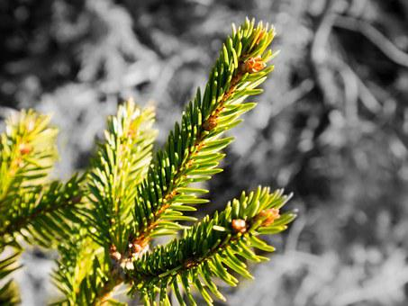 Spruce, Needles, Branch, Pine Needles, Tap, Pine Cones