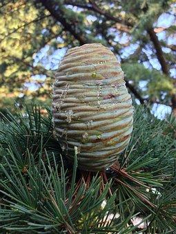 Cedar, Tap, Pine Greenhouse, Needles, Conifer