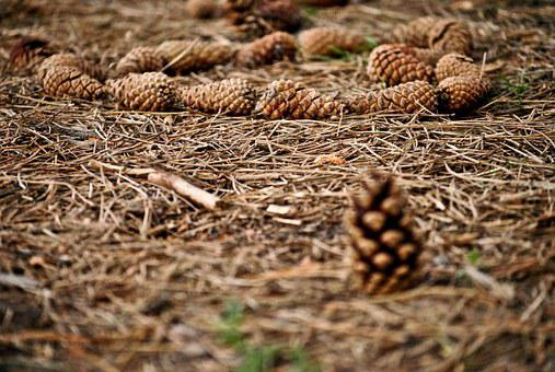 Cones, Forest, Autumn, Plants, Pine Cone, Tree, Plant