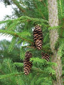 Spruce, Pine Cone, Needles, Summer, Branch, Plant