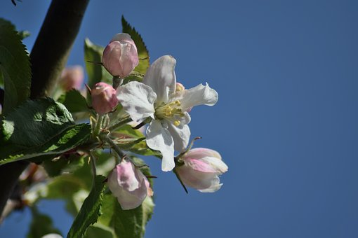 Apple Blossom, May, Spring, Bloom, Orchard