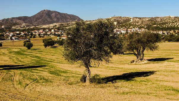 Olive Tree, Meadow, Landscape, Country, Countryside