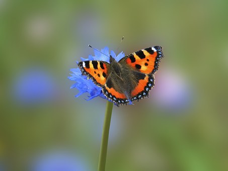 Butterfly, Aglais Urticate, Nature Scene, Orange, Alive