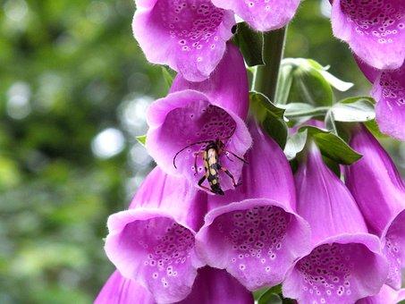 Common Foxglove, Thimble, Digitalis Purpurea