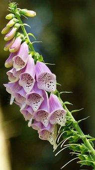 Common Foxglove, Forest Bells, Digitalis Purpurea