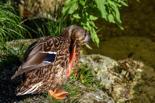 Duck, Mallard, Drake, Water Bird, Nature, Bird