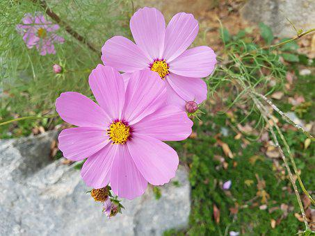 Fall Flowers, Cosmos, Flowers, Blossom, Free Pictures