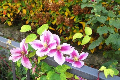 Autumn Flowers, Clematis, Garden Fence, Grown