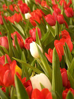 Flower, Tulip, Holland, Outdoor, Tree, Park, Floral