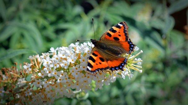 Butterfly, Little Fox, Aglais Urticae, Nettle Butterfly