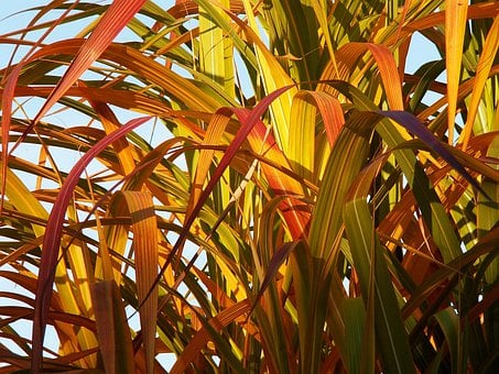 Bamboo, Yellow Bamboo, Foliage, Colors, Autumn