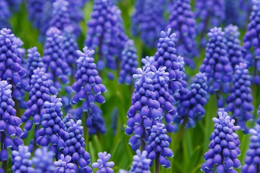 Hyacinth, Muscari, Grape Hyacinth, Flowers, Bed, Bloom