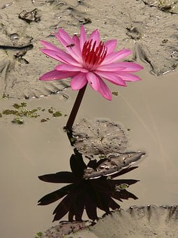 Water Lily, Blossom, Bloom, Pink