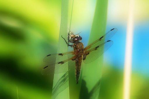Dragonfly, Animal, Fauna, Nature, Insect, Close, Macro