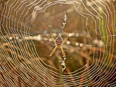 Spider, Web, Dew, Morning, Arachnid, Striped, Legs