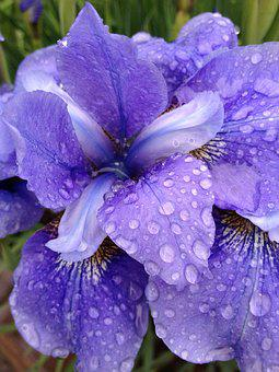 Iris, Flower, Bloom, Nature, Floral, Spring, Plant