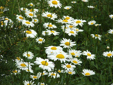 Daisies, Meadow, Floral, Summer, Field, Flowers, Daisy