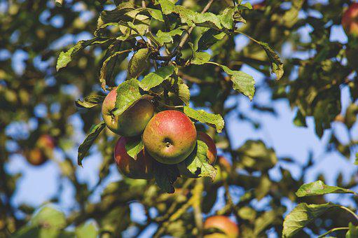 Apple Tree, Apple, Tree, Fruit, Autumn, Red, Branch