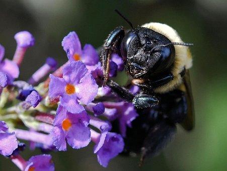 Bumblebee, Bee, Insect, Honeybee, Bug, Nature