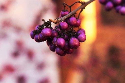 Wild Berries, Fruit, Red, Sun, Evening, Autumn