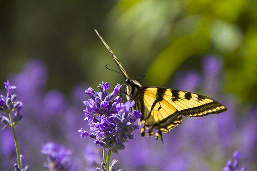 Monarch Butterfly, Flowers, Spring, Insect, Lavender