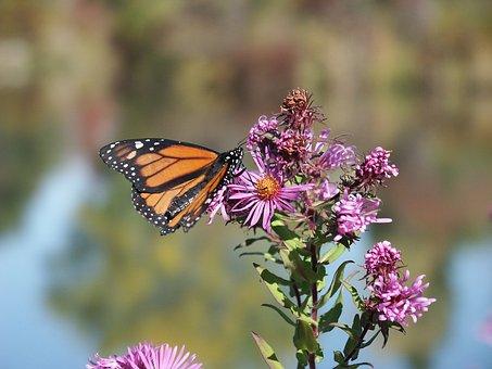 Garden, Monarch, Butterfly, Migration