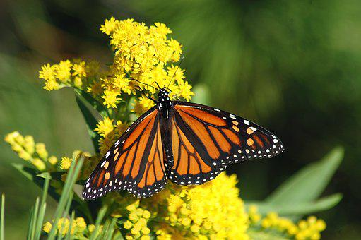 Monarch, Butterfly, Migration, Monarch Butterfly