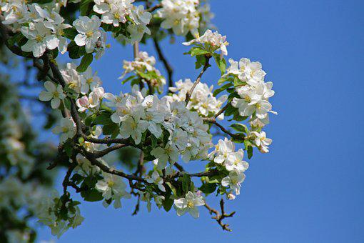 Apple Blossom, Blossom, Bloom, Apple Tree