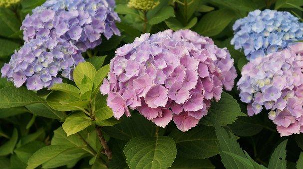Flowers, Nature, Flower, Galip Bush, Blossom, Hydrangea
