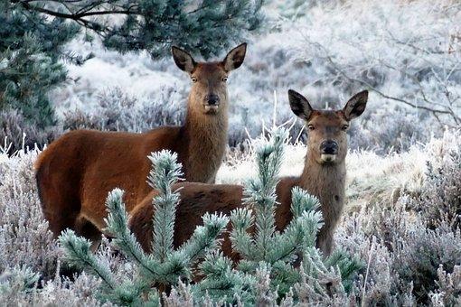 Deer, Animals, Nature, Wild, Wildlife, Forest, Mammal