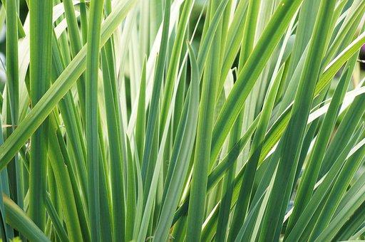 Leaves, Iris, Spring, Garden, Leaf, Plant, Natural