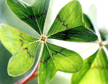 Klee, Lucky Clover, Garden, Shamrocks, Green