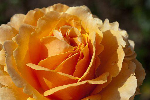 Rose, Flower, Nature, Macro, Orange, Petals
