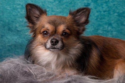Chihuahua, Dog, Small, Pets, Chiwawa, Animals, Hairy