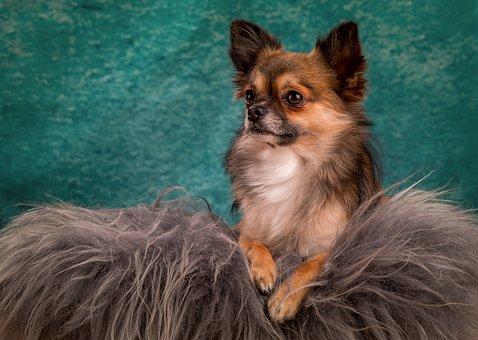 Chihuahua, Dog, Small, Small Dog, Chiwawa, Hairy, Cute