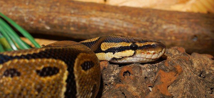 Snake, Python, Ball Python, Python Regius, Original