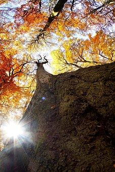 Autumn, Beech, Sun, Light, Strain, Tree, Nature, Forest
