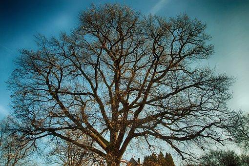 Oak, Tree, Old Oak, Bark, German Oak, Aesthetic